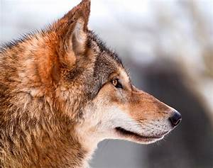 Wolf profile | This is a picture I also like, the wolves ...