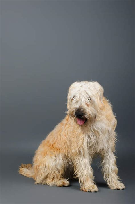 soft coated wheaten terrier dogs breed information omlet