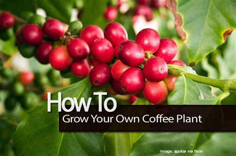 How To Grow A Coffee Tree Indoors And Out Comedians In Cars Getting Coffee Long Island Big Mugs Tina Fey Knotty Pine Dave Attell Nestle Milk Tube Carbs Host