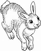 Coloring Rabbit Pages Animals sketch template