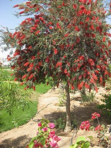 bottle brush tree explore  highest position july