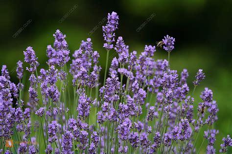 Bilder Mit Lavendel by Bestellen Lavendel Lavandula Angustifolia Bild