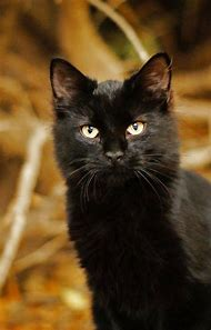 Beautiful Black Cat