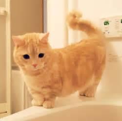munchkin cats for 21 reasons why you need a munchkin cat asap purrtacular
