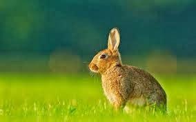 cuisiner le lapin de garenne les echos du talagard le lapin de garenne