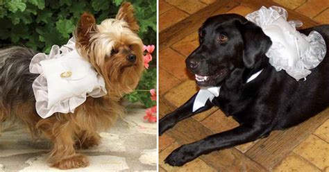Wedding Accessories For Dogs : Dog Accessories For Wedding, Dog Chewing Problem Tips, Nyc