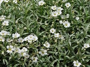 Unkraut Weiße Blüte : bodendecker ~ Lizthompson.info Haus und Dekorationen