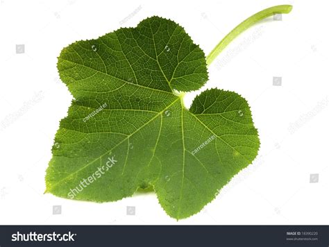 Pumpkin Leaf Stock Photo 18390220