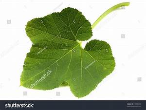 Pumpkin Leaf Stock Photo 18390220   Shutterstock