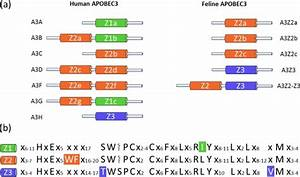 Human And Feline Apobec3  A3  Proteins   A  Schematic