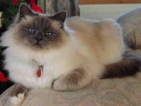 cat breeders amazing dogs breeds birman cat