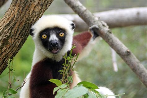 Excited Animal Face Lemur