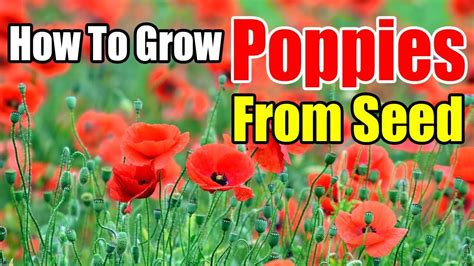 grow poppies  seed indoors youtube