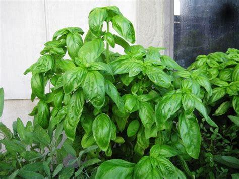 basilico coltivazione in vaso coltivazione basilico aromatiche come coltivare il
