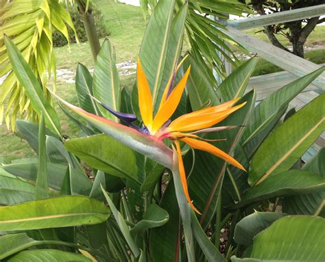 bird of paradise plant bird of paradise plant rolling harbour abaco