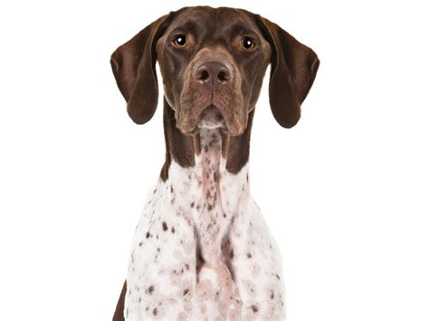 The German Shorthaired Pointer Is the Hunter's Jack-of-All