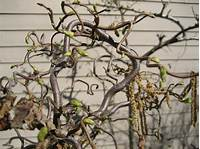 walking stick plant Why Is My Plant Called Harry Lauder's Walking Stick ...
