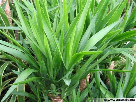 yucca plante interieur ou exterieur rempoter un yucca d int 233 rieur