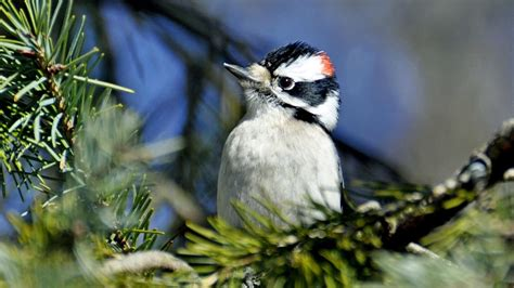 what do woodpeckers eat what does a woodpecker eat reference com