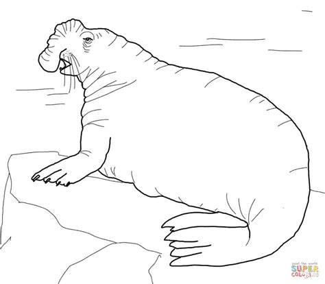 Elephant Seal Clipart Arctic Seal Pencil And In Color