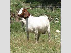 National Animal Of Iraq Goat 123Countriescom