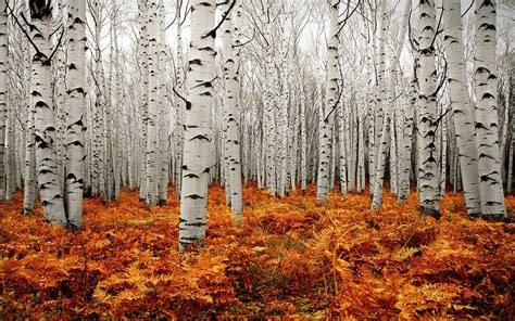 autumn tree forest american aspens populus tremuloide
