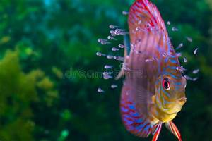Colorful tropical fish stock photo. Image of american ...