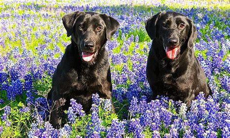 pups loving  texas hill country bluebonnets