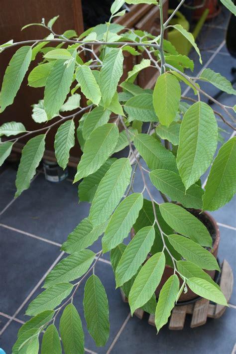rempotage ylang ylang arbres arbustes et rosiers forum du jardin et du jardinage