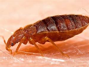 Bed bug control brentwood contra costa county alameda for Bed bugs san francisco
