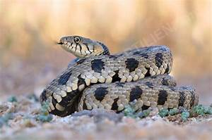 Cyprus Snakes - Blunt Nosed Viper