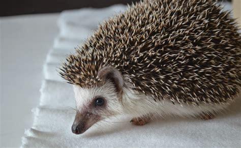 pet hedgehog ever so juliet uk lifestyle beauty baking blog my pet hedgehog