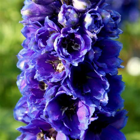 buy delphinium delphinium black delivery by waitrose garden in association with
