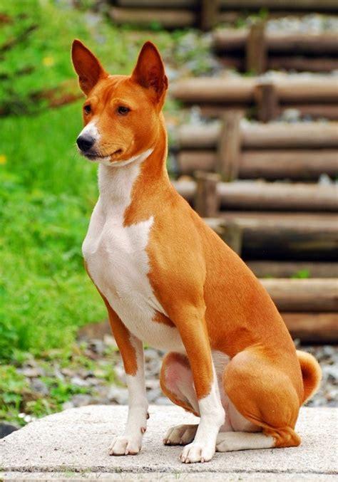 basenji breed information thriftyfun