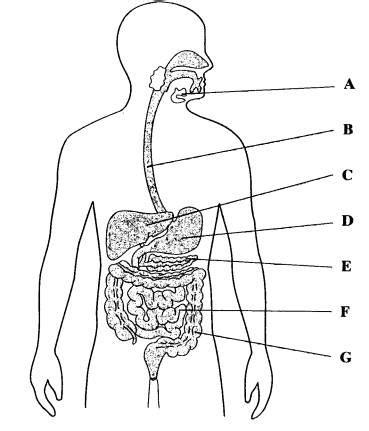 anatomy physiology digestive system glogster