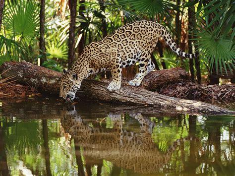 amazing jaguar habitat belize caribbean cayes wildlife and mayan