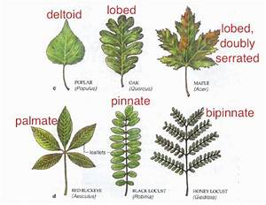 What Is A Palmately Compound Leaf | Theleaf.co