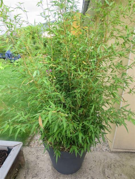 comment cuisiner les pois gourmands comment planter des bambous en pot 28 images comment