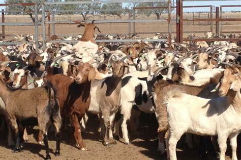 Demand For Goats Up