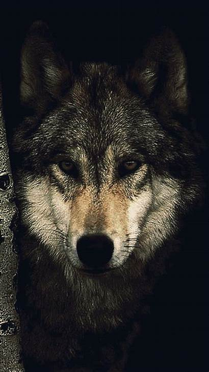 Wolf Wallpapers Alpha