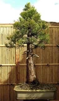 Giant Sequoia Bonsai Tree
