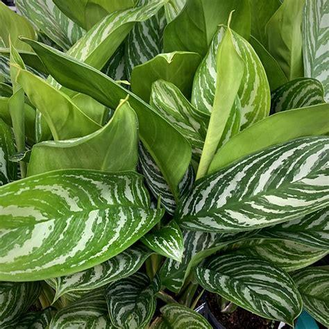 Aglaonema Stripes - Indoor Green Plant on Thursd.