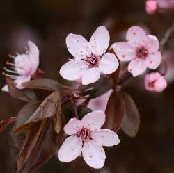 Purple Leaf Flowering Plum Tree