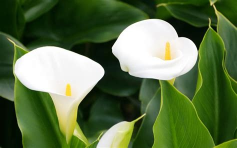 calla flower calla lily ethiopia national flower
