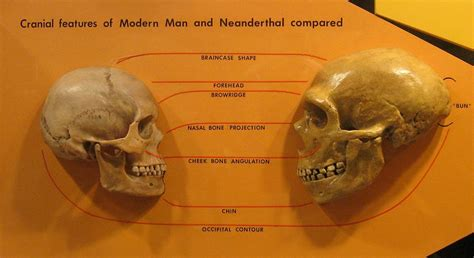 neanderthal vs cro magnon musings from the chiefio