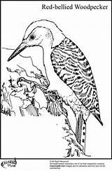 Woodpecker Coloring Bellied Bird Cartoon Birds Adult Teamcolors Title Woodpeckers Character Url Characters Looks sketch template