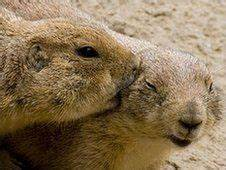17 Best Prairie Dogs Kissing & Hugging images   Dogs ...