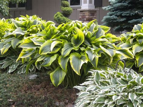 large hostas varieties 17 best images about under the pine tree spruce tree on pinterest gardens perennials and
