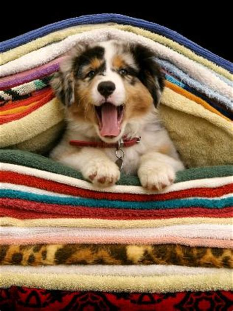cozy australian shepherd pup hundar aussie