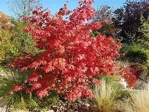 Ahorn Rote Blätter : japanischer ahorn schneiden in 5 schritten ~ Eleganceandgraceweddings.com Haus und Dekorationen
